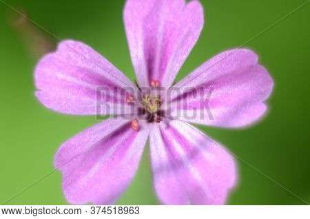 Beautiful Little Flower Of Geranium Robertianum, Commonly Known As Herb-robert, Red Robin, Fox Geran