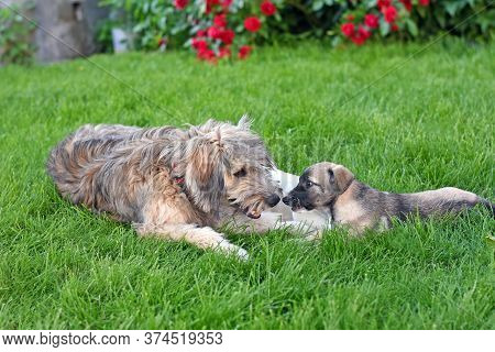 Shaggy Dog With A Small Puppy Lie On The Green Grass. Dogs Are Playing.