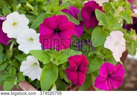 The Plant Called A Large White Petunia Also Called Nightshade Growing In A Pot In The Uk