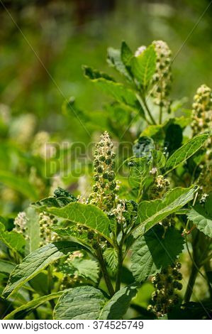 Botanical Collection Of Poisonious Plants And Herbs, Phytolacca Americana, Or  American Pokeweed, Po