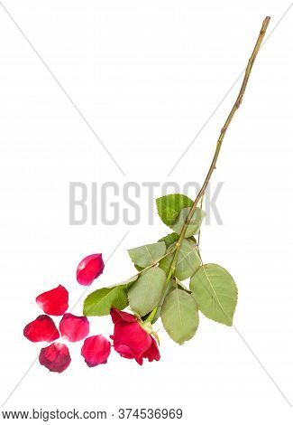 Wilted Red Rose Flower And Fallen Petals Isolated On White Background