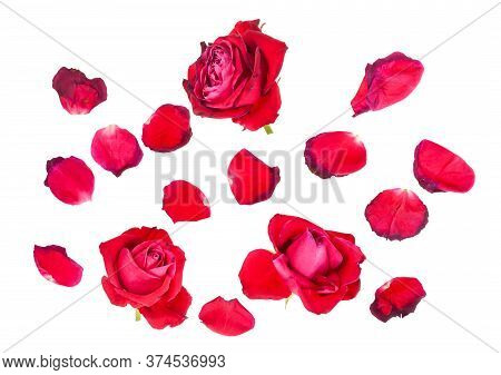 Fallen Petals And Three Withered Blooms Of Red Rose Flowers Isolated On White Background
