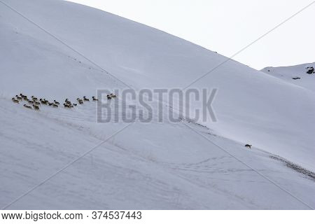 A Wild Wolf Chases A Herd Of  Mountain Sheep In Winter. A Wolf Chases A Group Of Argali Down A Snowy