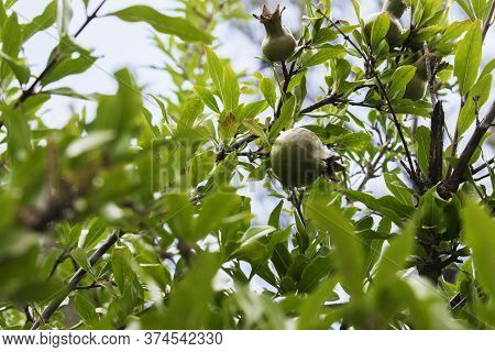 Young Green Pomegranate Grows On A Tree. Harvest Ripening, Ripening Pomegranate.