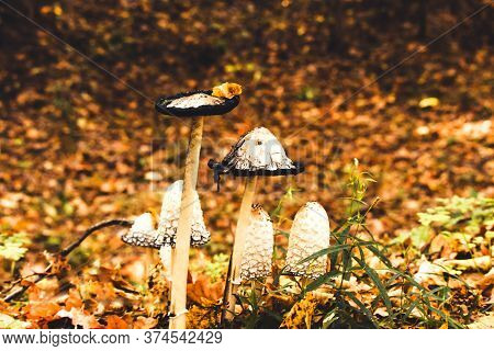 Ink Mushroom Coprinus Comatus, Shaggy Ink Cap, Poisonous Mushrooms In The Autumn Forest, Selective F
