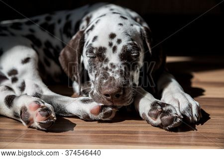 Sleeping Dalmatian Puppy.dalmatian Dog Is Relaxing. Puppy Sleeping On A Wooden Floor In Brightly Lit