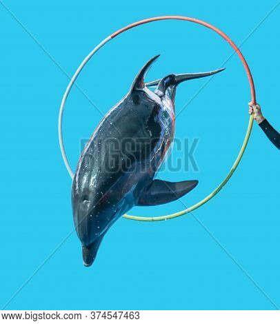 Dolphin Jumping Over A Hoop Isolated On A Blue Background. Mammal Marine Animal.