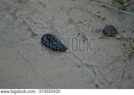 Big Black Leech In  On  Summer Day  By The Lake In The Sand