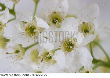 Bird Cherry Flower Isolated On White Background. Horizontal Macro Shot. Spring Tree Blooming.