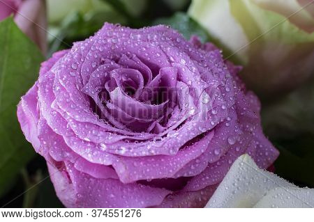 Close Up Of Fresh Bright Violet Rose Petals With Water Drops, Horizontal Macro Shot, Picture For Pos