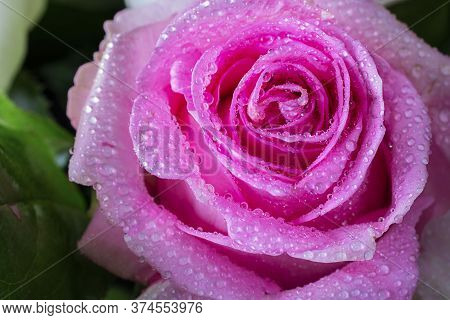 Close Up Of Fresh Bright Pink Rose Petals With Water Drops, Horizontal Shot With Golden Helix Compos