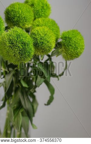 Bunch Of Dianthus Barbatus In Glass Vase On Gray Background. Bouquet Of Turkish Carnations Macro Pho