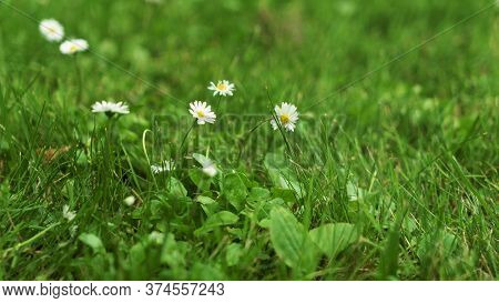 Summer Green Grass Texture Field With White Small Daisy Flowers. In A Garden Under Sunlight. Meadow