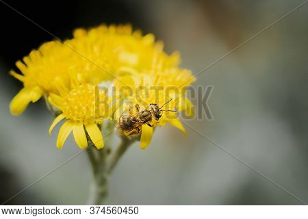 Honeybee With The Body Covered By In Pollen, Apis Mellifera, Feeding And Pollinating Yellow Wild Flo