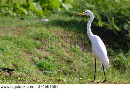Great Egret, Common Egret, Great White Heron At Sri Lanka.the Great Egret (ardea Alba), Also Known A