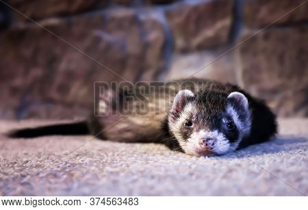 Adorable Low Angle Face First View Of Ferret Laying On Carpet.  Black And White Fur, Pink Spotted No