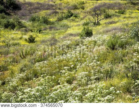 California Full Frame Hillside Covered In A Mix Of Vibrant Wildflowers In Yellow, White And Green.