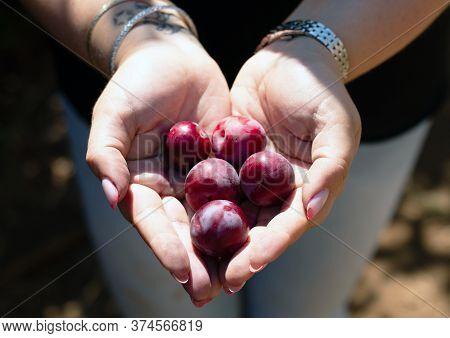Plums In Female Heart Shaped Hands. Kibbutz Ein Zivan.