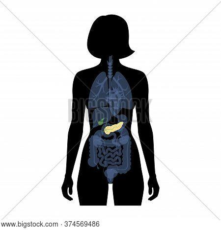 Vector Isolated Illustration Of Pancreas, Duodenum And Gallbladder Anatomy In Female Body. Human Dig