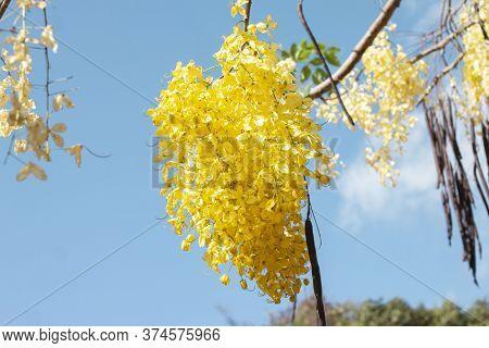 Golden Shower Tree, Cassia Fistula Or Thai People Call Ratchaphruek Bloom With Sunlight On Blue Sky