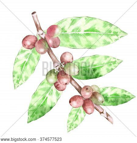 Watercolor Botanical Illustration Of Coffee Plant With Ripe Beans. Hand Drawn Coffea Arabica Isolate