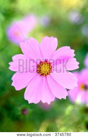 Pink cosmos flower with blurred (defocused) green background. poster