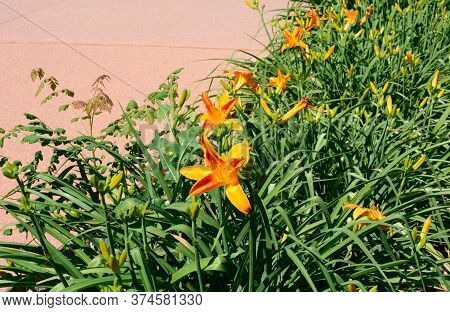 Garden Bed Of Orange Daylily Flowers And Bugs On Edge Of Sidewalk