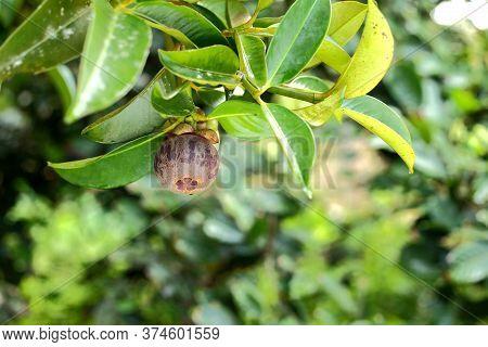 Mangosteen Tree With Ripe Mangosteen In The Garden