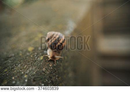 Close-up On Edible Snail, Roman Snail, Burgundy Snail, Escargot After Rain On Wet Concrete
