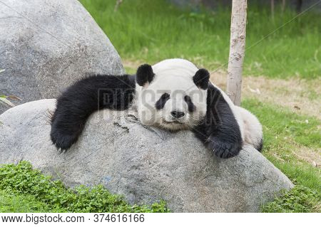 Adorable Giant Panda Bear Sleeping On Rock
