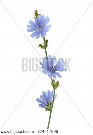 Isolated Chicory Branch With Flowers On The White Background