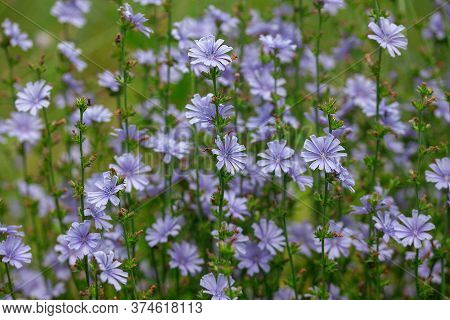 Chicory Flowers On The Green Summer Meadow
