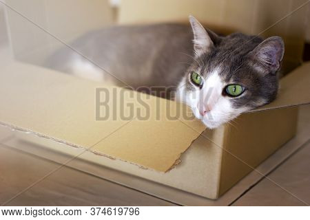 White Grey Tabby Domestic Cat With Green Eyes In Cardboard Box On Floor At Home. Difficulties Moving