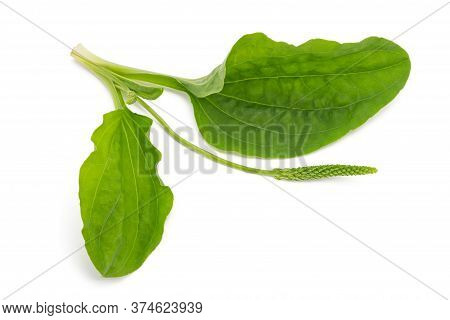 Broadleaf Plantain Leaveswith Ear Isolated On White Background
