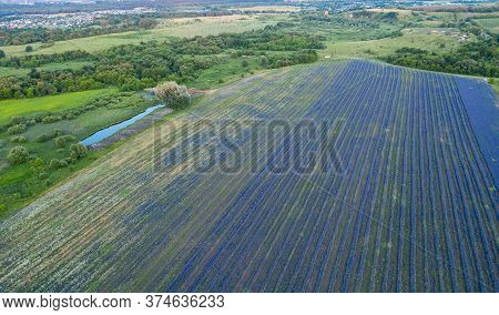 Landscape Of A Large Field Of Lilac Flowers Of A Delphinium Planted In Straight Rows, Aerial View