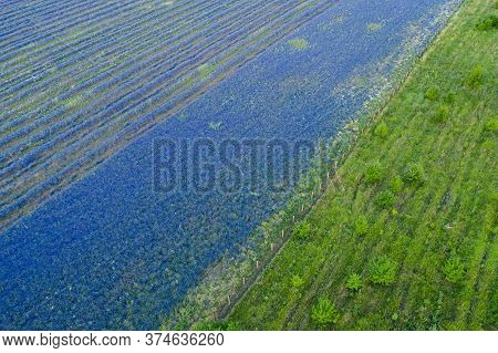 Field Of Lilac Blue Of Delphinium And Green Grass, Flat Border, Aerial View