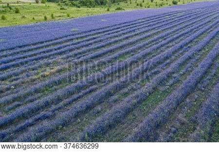 Field Delphinium Grows In Even Rows In A Large Field, Aerial View