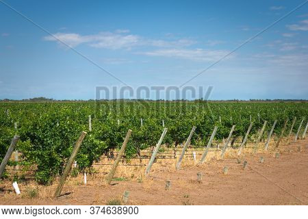 Grapevine Rows At A Winery Estate In Mendoza, Argentina. Agricultural Activity, Wine Making Backgrou