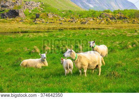 Sheeps In A Flowery Field In Spring In Norway Territory.