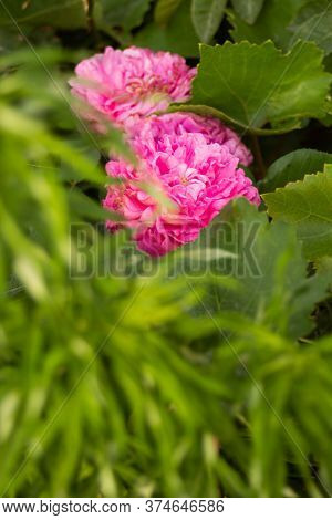 Pink Fluffy Rose Hid Behind Green Leaves. High Quality Photo