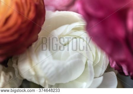 Pretty Flower Of White Ranunculus Between Red And Orange