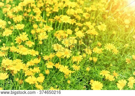 Beautiful Yellow Flowers Dendranthema Boreale On Sunny Green Field As Spring And Summer Nature Backg