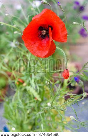 Poppy Flower Close Up Growing In A Flower Bed Of Wild Flowers