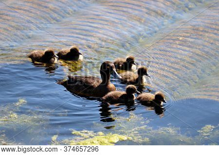 Tufted Duck (aythya Fuligula) With Ducklings Swimming In A Lake. Female Wild Duck With Baby Birds In