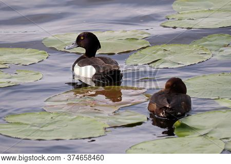 Couple Of Tufted Duck (aythya Fuligula) Swimming In A Lake. Male And Female Wild Ducks In Summer