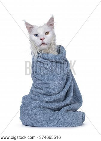 Freshly Washed Solid White Odd Eyed Maine Coon Cat Wrapped In Light Blue Towel, Sitting Facing Front