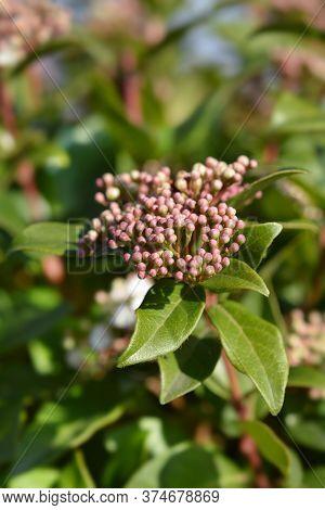 Laurustinus Eve Price - Latin Name - Viburnum Tinus Eve Price