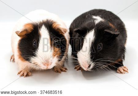 Guinea Pig Isolated On White Background - Image,two,closeup