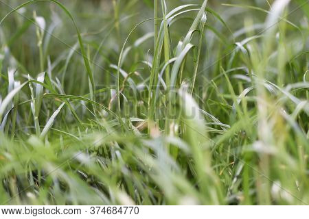 Grass For Background. Green Texture. Many Blades Of Grass.