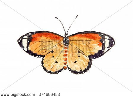Watercolor Drawing Of Butterfly Danais Chiysippus Isolated On White Background. Handmade Illustratio